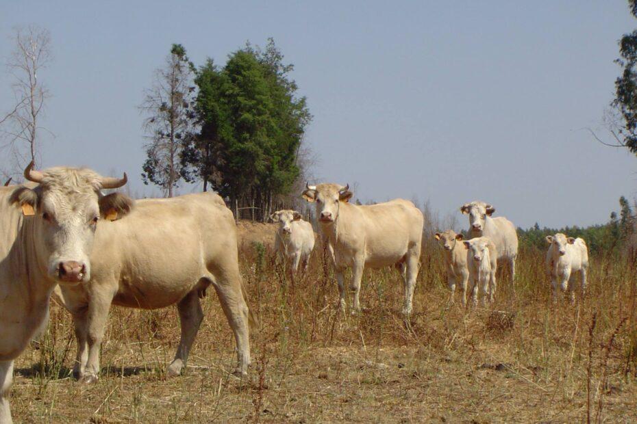 Vacas2